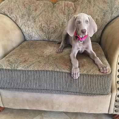 27 Best Images About All Things Weimaraners On Pinterest