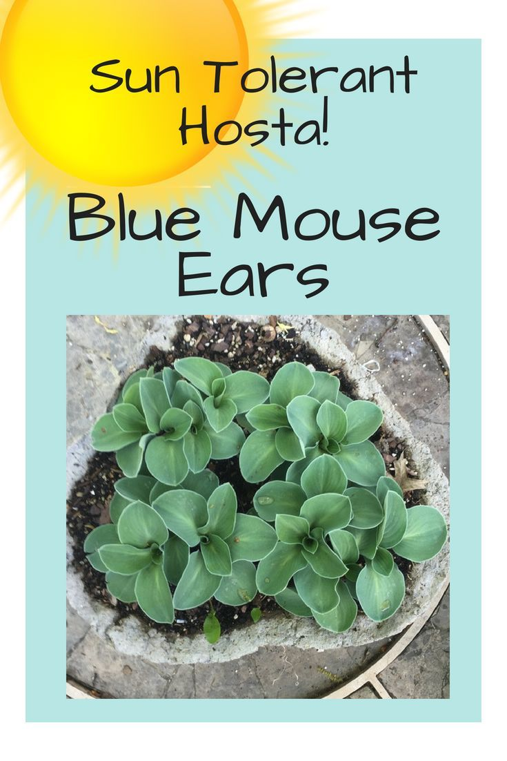 Blue Mouse Ears Hosta Is Sun Tolerant And One Of The Best Hostas To