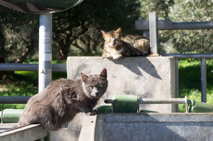 Dumpster cats, Crete, Greece