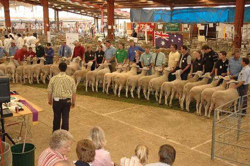Dubbo Show - Sheep Ring