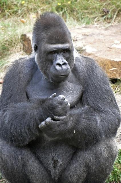 Western Lowland Gorilla    Jambo.Westelijke laaglandgorilla (Gorilla gorilla gorilla)Apenheul, Apeldoorn, The NetherlandsConservation status: Critically Endangered