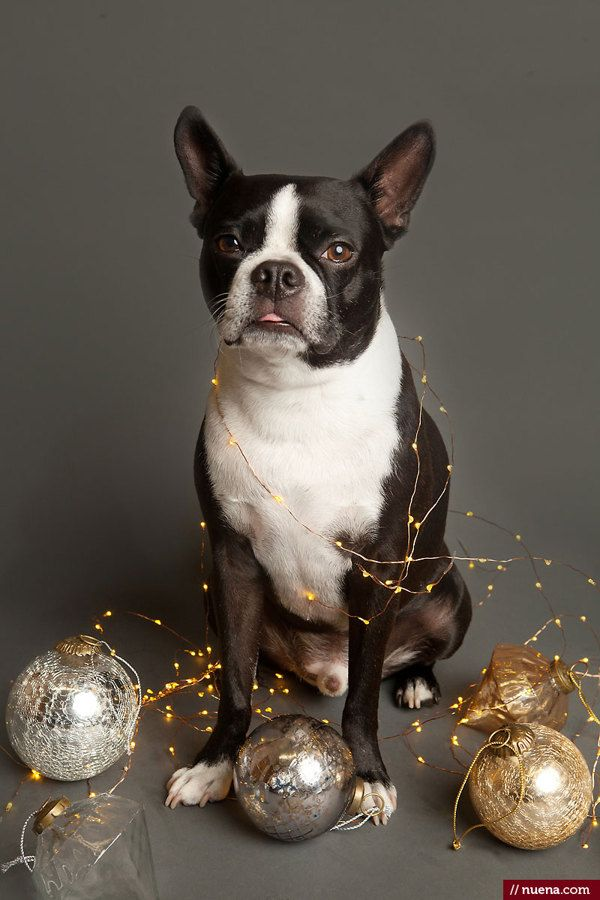 Holiday Dog Photos by Kira Stackhouse, via Behance