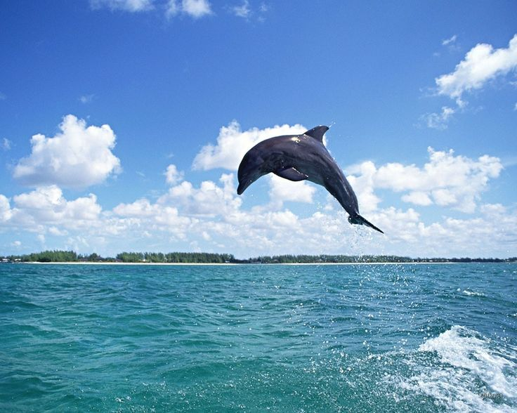 Dolphins | ocean jumping dolphins 1280x1024 wallpaper Animals Dolphins HD