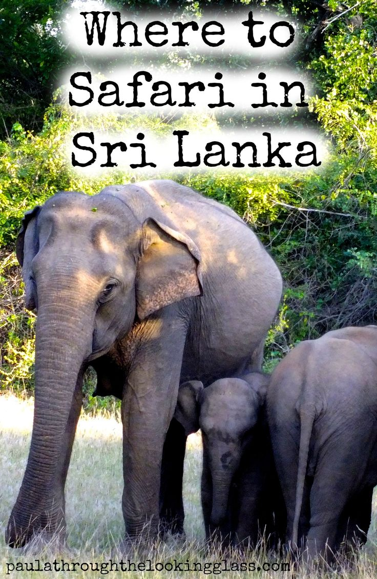 Thinking of doing a #safari in #srilanka ? Find out where is best by clicking here >>http://www.paulathroughthelookingglass.com/safari-in-sri-lanka/