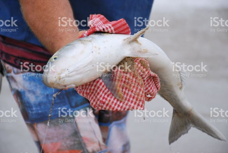 Man prepares bait for Surf Fishing in Summer royalty-free stock photo