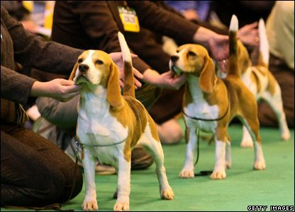 beagle legs | Breeds of small dogs : best small dog breeds