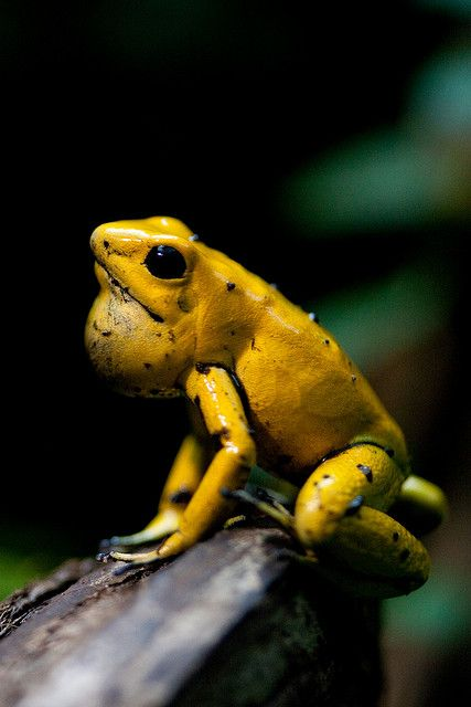 Yellow Frog  The most poisonous frog in the world