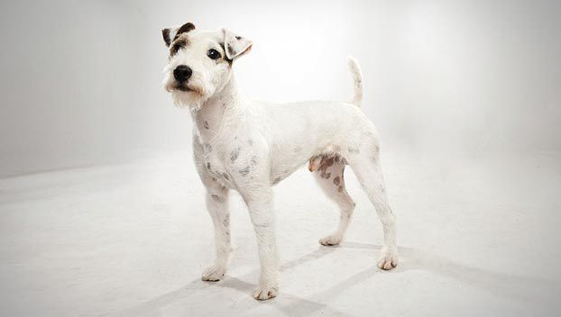 Quick Fact: The Parson Russell is often confused with the Jack Russell Terrier. The Parson Russell is taller, has longer legs, and is thinner in build. Love my russell!!!