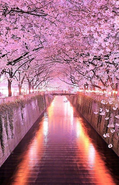 Wisteria Flower Tunnel in Tochigi, Japan.