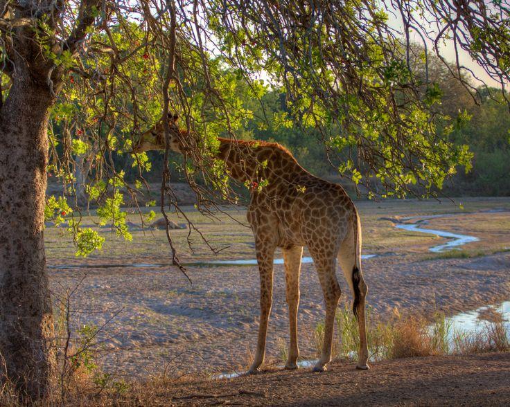 A Peckish Giraffe