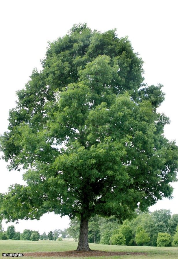 White Oak (Quercus alba) According to Tallamy, 'oaks are the quintessential wildlife plants:  no other genus supports more species of Lepidoptera, thus providing more types of bird food, than the mighty oak'.
