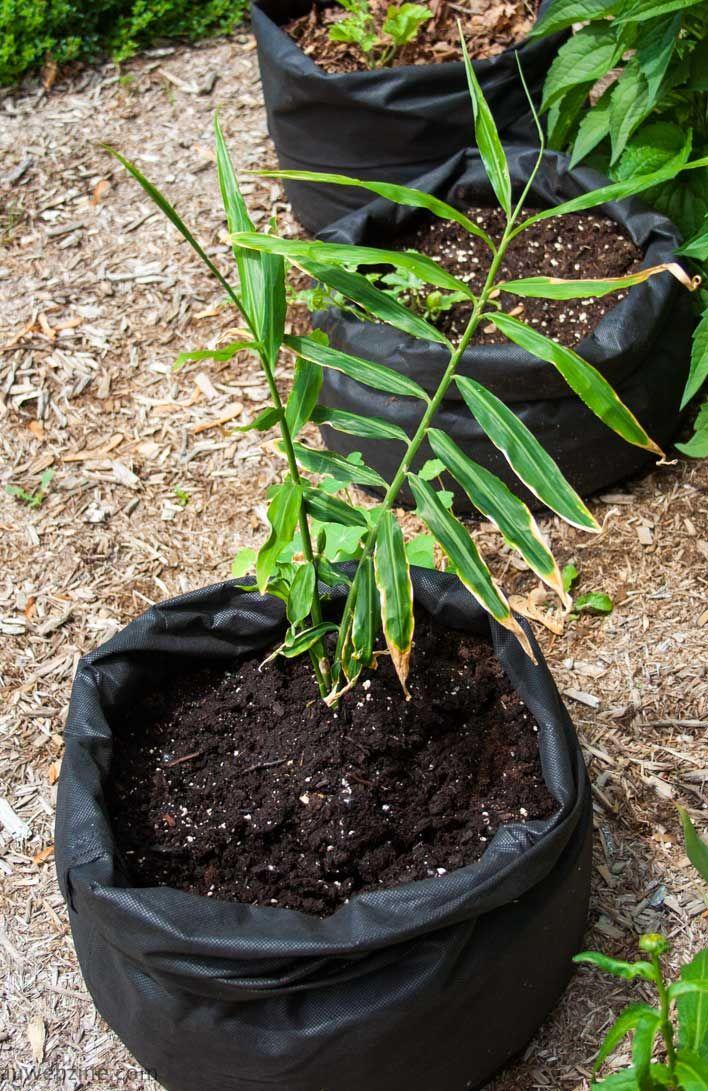 Planter du gingembre mon smartphone samsung fait des - Planter du curcuma ...