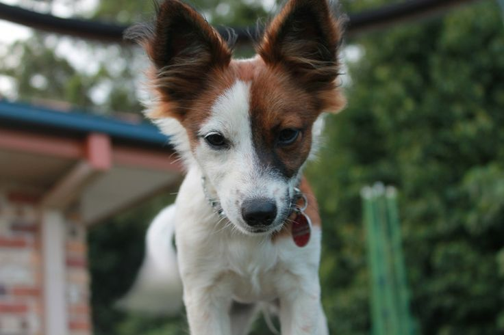 red chiwawa mix | Miniature Fox Terrier Chihuahua Mix