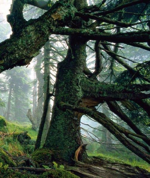 Deutschland: Harz   Über den mächtigen Bäumen rund um den Brocken, dem höchsten Punkt im Nationalpark, hängt Morgennebel und taucht den Wald in ...