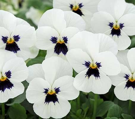 Viola hybrida 'F1 Sorbet' - Series of Single Colours - U-V - A-Z Botanical Name - Flowers Seeds