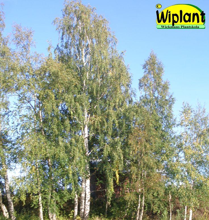 Betula pendula/pubescens. Vårtbjörk/Glasbjörk. Vårtbjörken har hängande grenar. Höjd: 10-25 m.