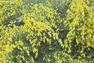 Sweet Broom Plant Care | eHow