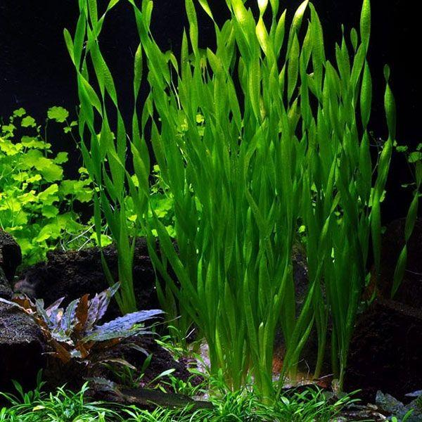 Vallisneria asiatica, asiatische Wasserschraube Bund