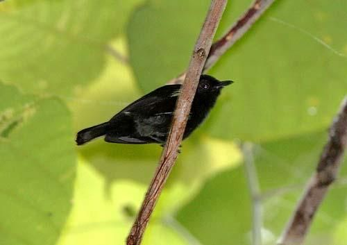 Black Berrypecker (Melanocharis nigra)