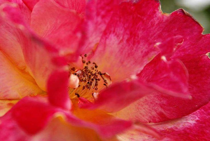 #pistils and #petals