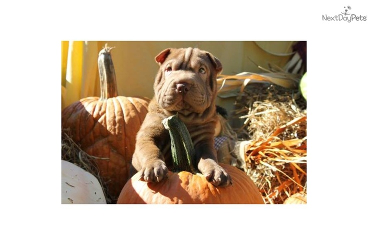 Chinese Shar-Pei Puppy for Sale: WRINKLY MINI CHOCOLATE BOY**SOLD** - 1831b513-eff1