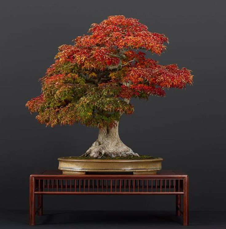 Three Magnificent Maples Bonsai Bark Bonsai Tree Care Maple Bonsai Bonsai Art