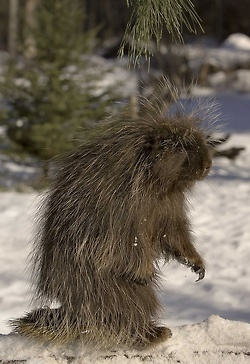 Tell everyone...it's little bigfoot  Not sure but I think it is an upright porcupine!?!