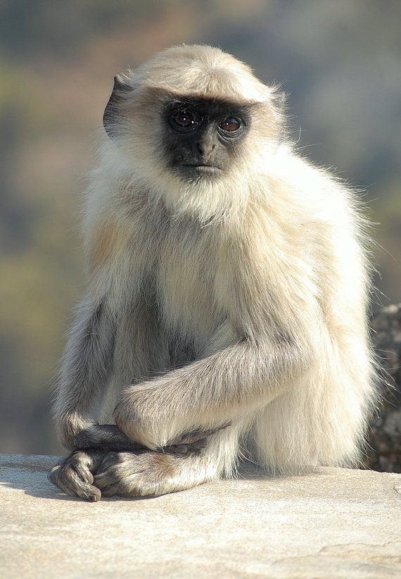 Monkey known as  Hanuman Langur, after the Monkey God in India - Hanuman. Photo Card Fine Art Print by JenWatsonPhotography, $6.00