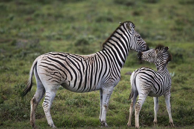 Zebra mother love :) at Addo Elephant National Park - Photography by Rory Alexander