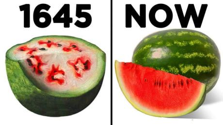 The power of selective breeding in watermelons