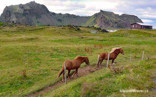 iceland westman islands vestmannaeyjar heimaey Sæheimar Aquarium icelandic horses