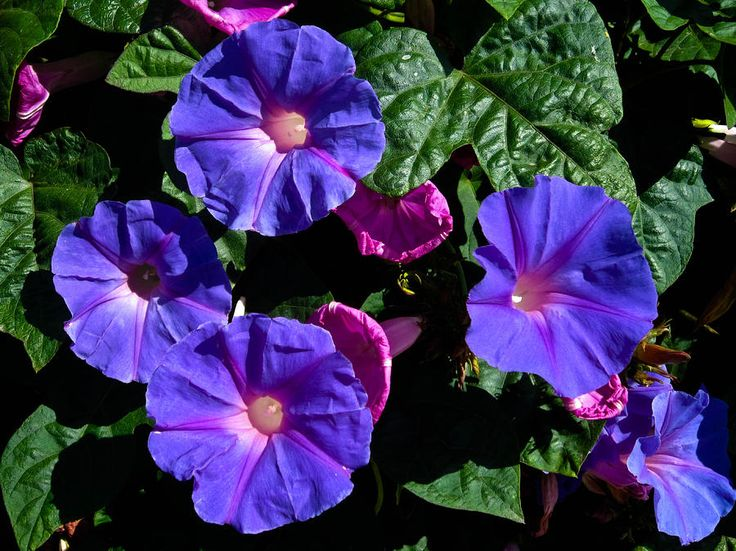 California Photograph - Sunny Morning Glories Shelltown San Diego by Sharon French