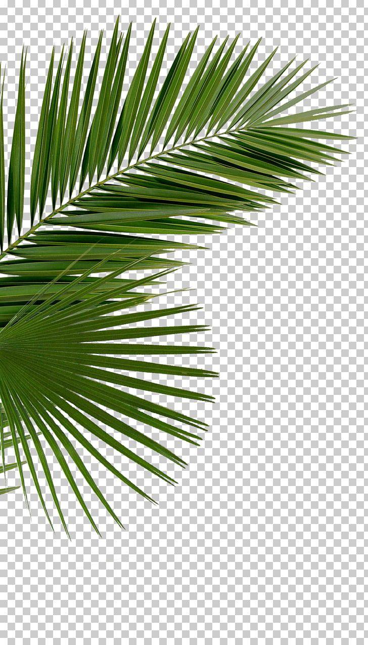 Asian Palmyra Palm Arecaceae Saw Palmetto Palm Branch Palm Leaf Manuscript Date Palm Green Leaves Png Clipart Free Clipar Palm Branch Palm Leaves Date Palm