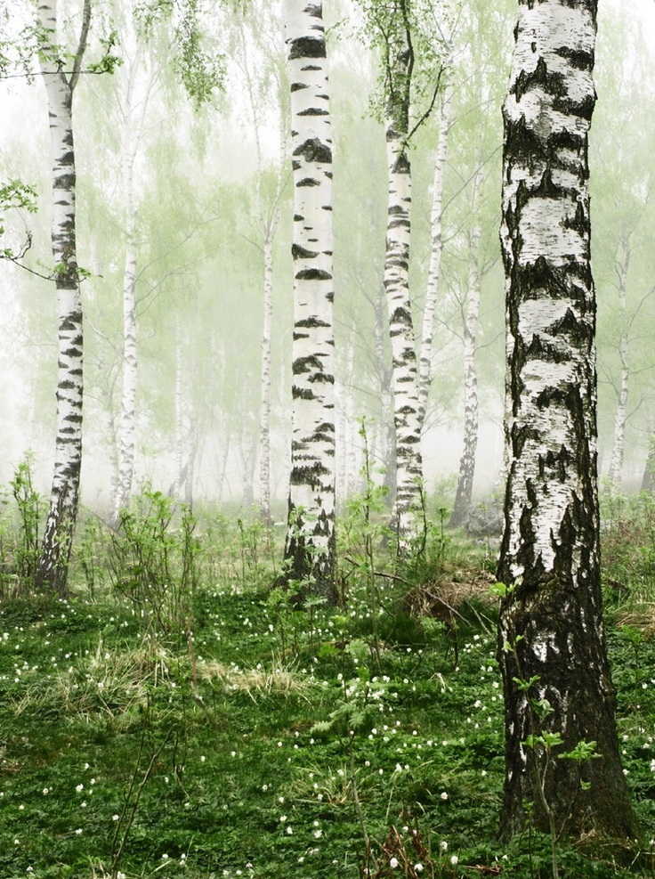 Birch Trees All Time Favorite Tree Pictures To Paint