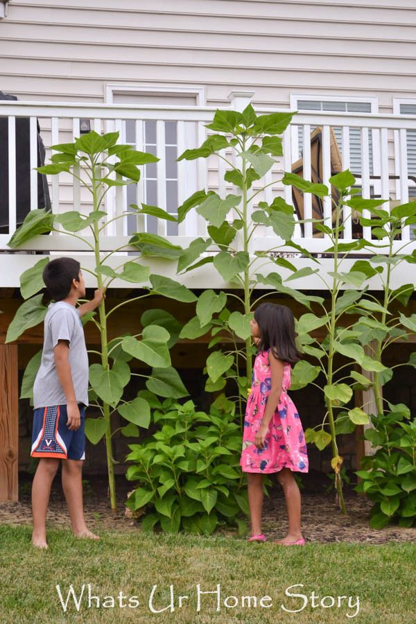 Use 10ft sunflowers to cover up the cave like area under the deck - Whats Ur Home Story
