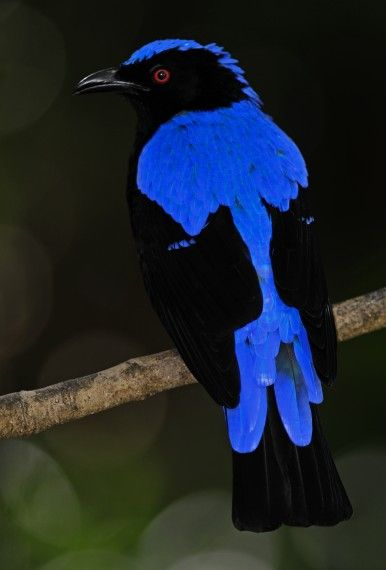 Asian Fairy Bluebird,  southern Asia from the Himalayan foothills, India and Sri Lanka east to Indonesia