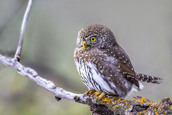 Pygmy Owl Photo Owl Print Nature Print by GreyGhostNaturePhoto