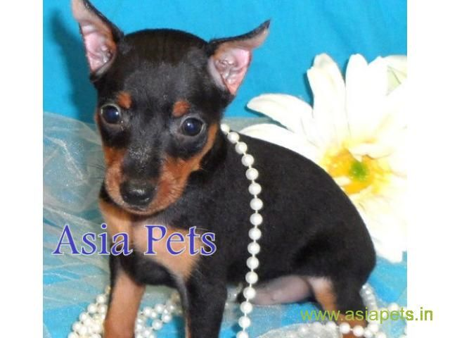 Miniature Pinscher Puppy For Sale Best Price In Delhi Miniature