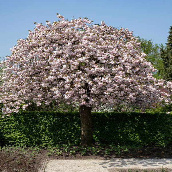 7ft Prunus Shirofugen Cherry Blossom Tree Half Standard 18l Pot 175 99 In 2021 Blossom Trees Cherry Blossom Tree Prunus