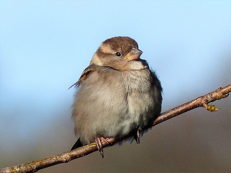 House sparrow, Ballyallia Lake, February 2018.