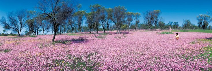Follow the Everlastings Wildflower Trail from Cervantes and the Pinnacles to Mullewa to see those beautiful iconic blankets of white, pink and yellow.