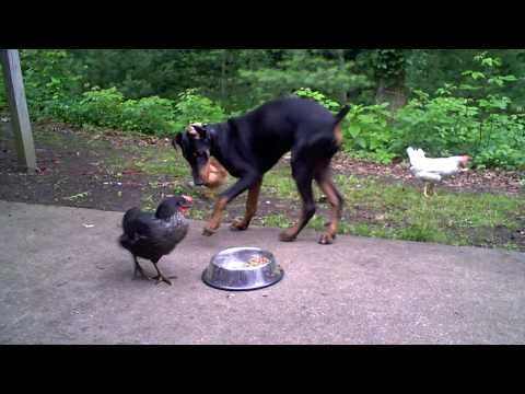 Chicken learns the true nature of the Doberman Pinscher - YouTube (I'd say that's a pretty patient Dobie--he could have had a side of chicken wings with his meal!)