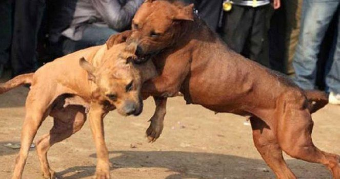 Stop Animal Abuse in Special Dog Fighting and Those Responsible Must Be Punished