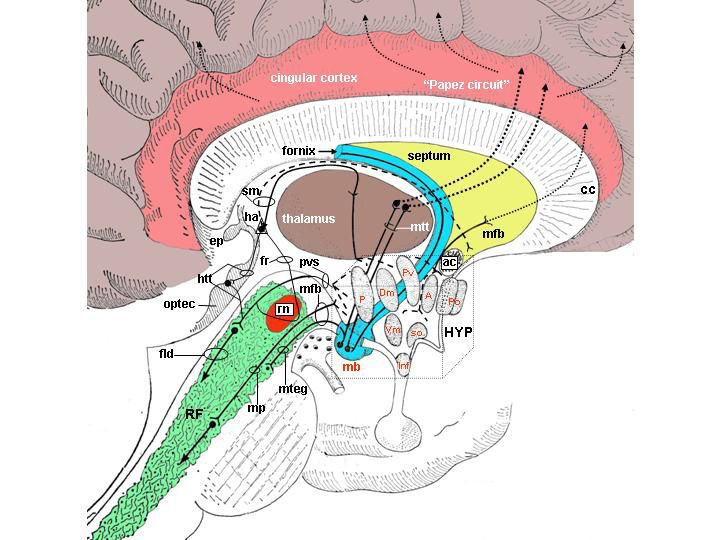 Fig. 22A.Overview of the major efferent pathways from the hypothalamus. (A) Connections with the limbic cortex, brainstem, thalamus and septum. A = anterior hypothalamic nucleus; ac = anterior commissure; cc = corpus callosum; CGRF = central grey - reticular formation; Dm = dorsomedial nucleus; dnmt = dorsal nucleus of the mesencephalic tegmentum; E-Wn = nucleus of Edinger-Wepstal; fb = medial forebrain bundle; ep = epithalamus; fld = fascicul...