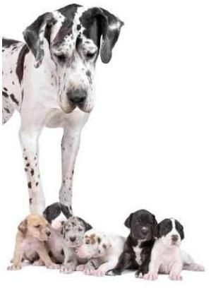 Gran Danés ... mamá y bebés ..