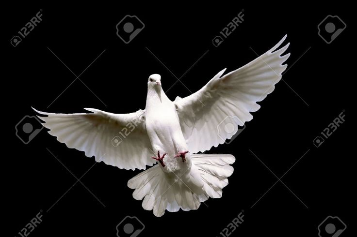 Weiße Taube Fliegen Am Himmel. Lizenzfreie Fotos, Bilder Und Stock Fotografie. Image 4013496.