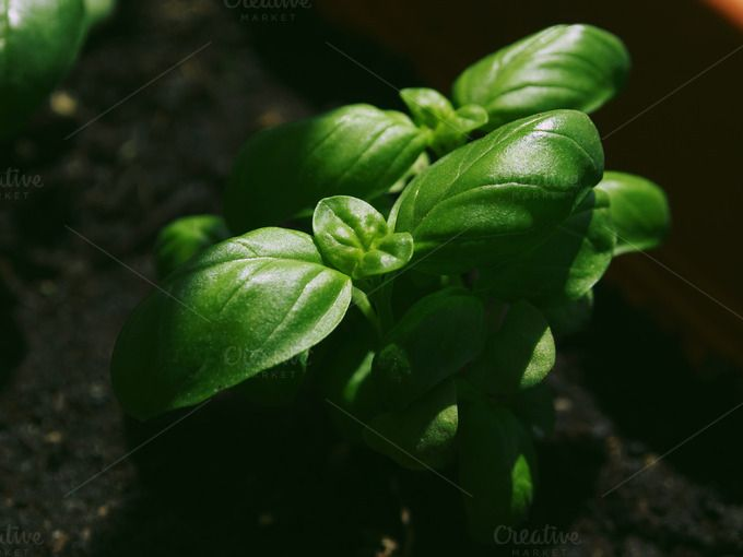 Green basil in morning light by Life Morning Photography on Creative Market