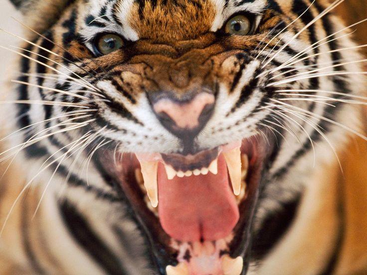 tigers | Tigers! | Catphi's Curiosities