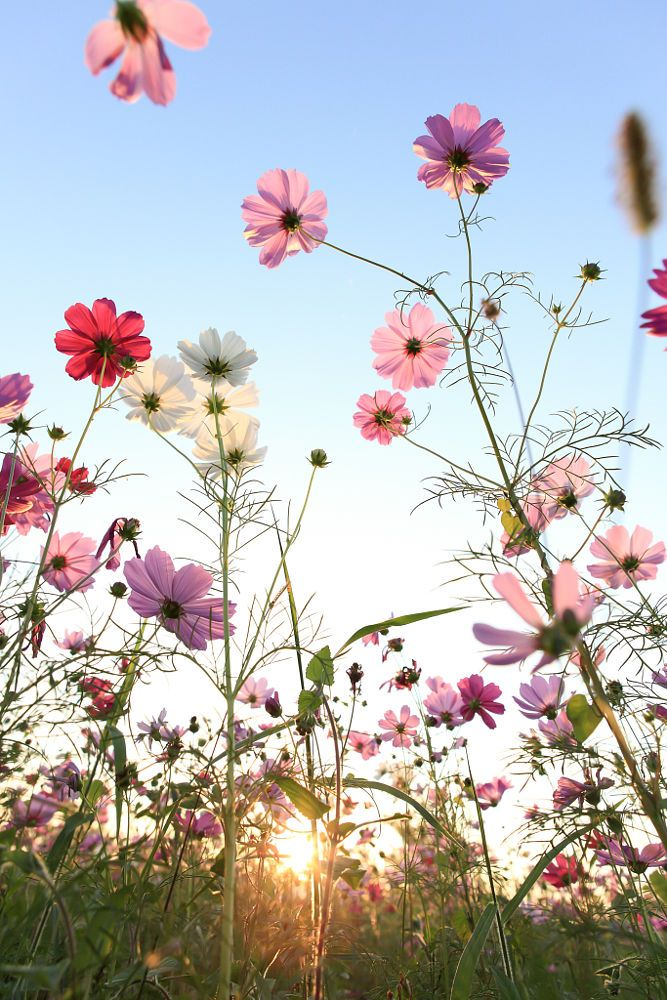 Nature - Cosmos flowers with blue sky.