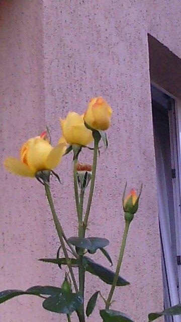 Żółte róże najlepsze...